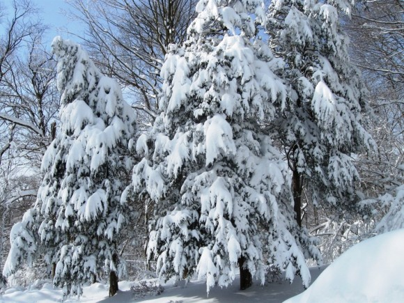 Two straining trees, their branches bent with the weight of snow