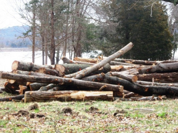 The pile of trees which once grew on the Foxboro Point site