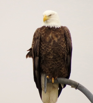 The Bald Eagles are here along the lower Connecticut River and boat tours in February and March can help you get a great look at them! Photo: Connecticut River Museum.