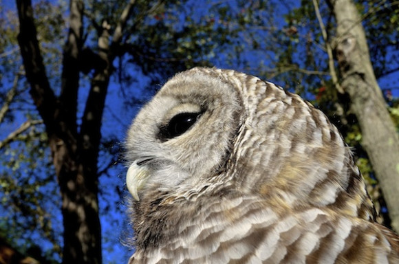 Zen, A Barred Owl, rehabbed by A Place Called Hope. Photo by Spirit Hawk Photography
