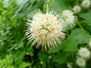 The Buttonbush is always a good addition to your landscaping plans.