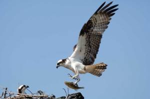 An osprey, returned from his winter spent in the southern hemisphere, feeds his young on the nest.