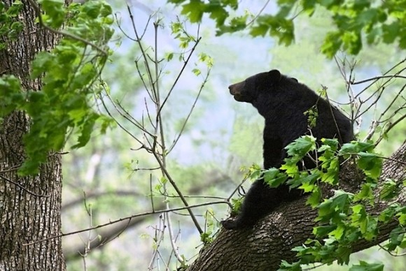 It's true that black bears are being sighted in Connecticut, but this black bear in the tree was discovered by Chester photographer Al Malpa in the Great Smokies.