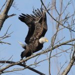 Winter Wildlife Eagle Boat Cruises Depart Weekend Days from CT River Museum