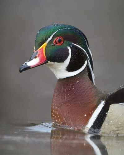 Wood Duck - Anders Ogren photo