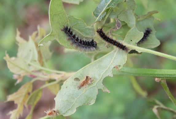 Gypsy moth caterpillars - photo by Peter Trenchard, CAES