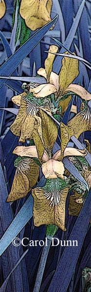 Golden-Iris-by-C-Dunn